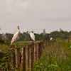 A Cattle Egret I think?