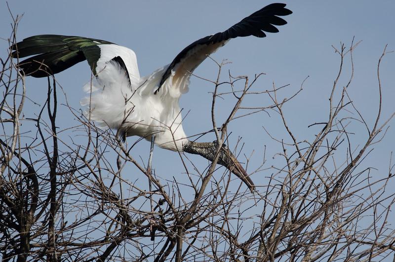 Wood Stork buidling its nest
