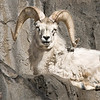 Bighorn Sheep at the Denver Zoo,