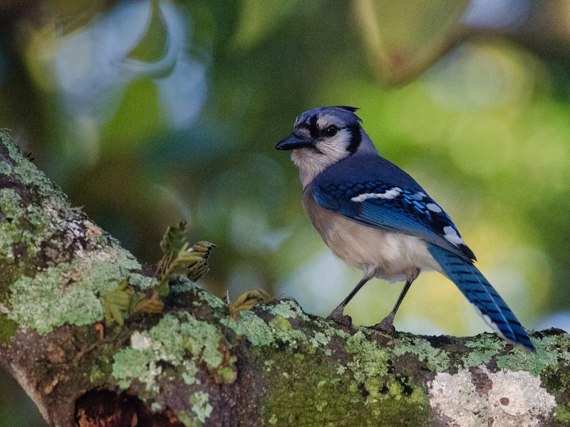Young Blue Jay St. Augustine