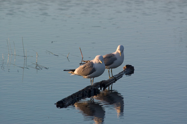 This pair of Seagulls was photographed in the pond at Potter Marsh, just south of Anchorage, Alaska in July 2006.