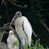 Wood Stork mother and chick