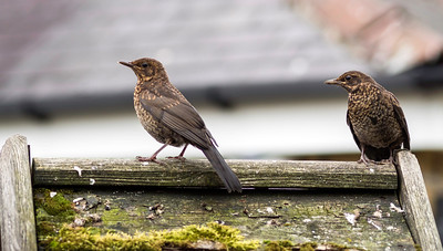 Song Thrushes