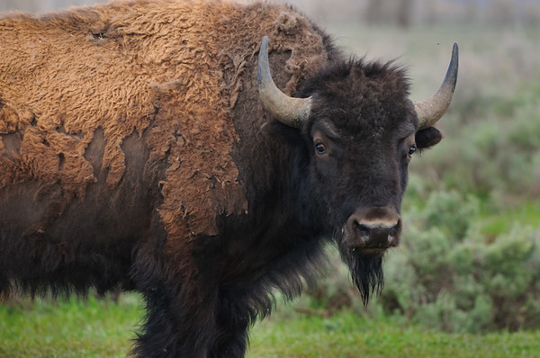 Buffalo, Moulton's Ranch, Grand Tetons NP (June 2011)