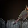 Female Cardinal in Jacksonville Beach