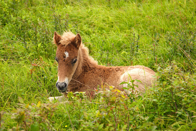 Young wild Pony resting in a field along the Appalachian Trail