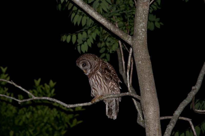 Barred Owl in Jacksonville Beach