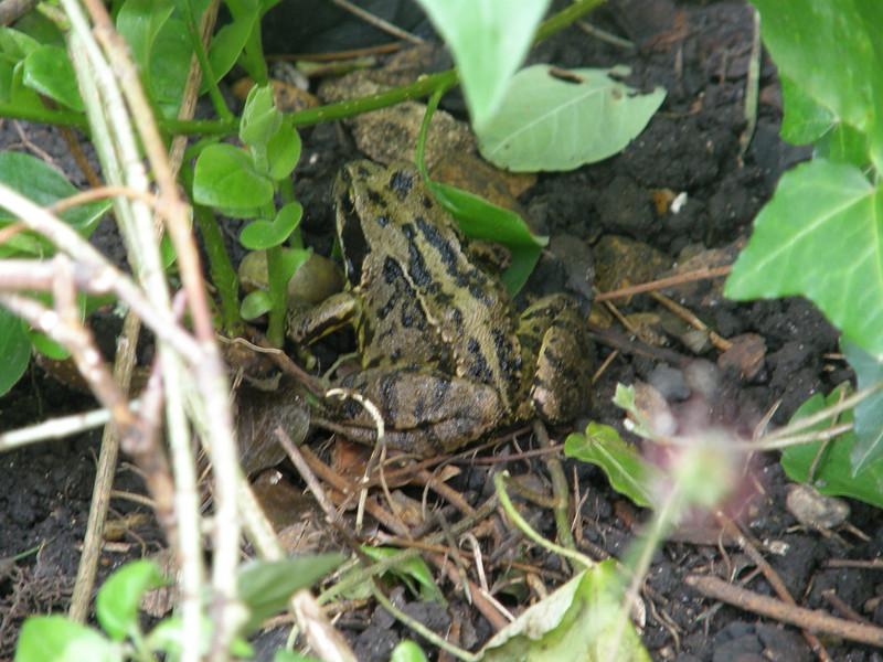frog_Parkstreet_June2007