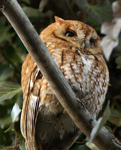 Eastern Screech Owl in the red phase