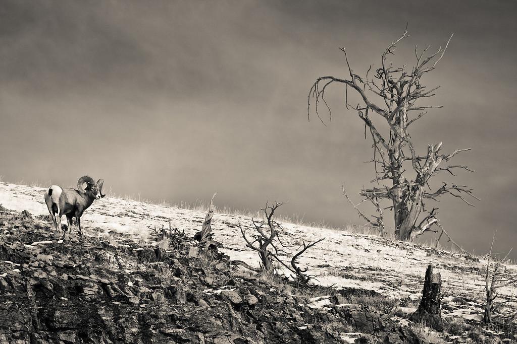 Rocky Mountain Big Horn, Wyoming.