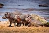 Hippos 0900
