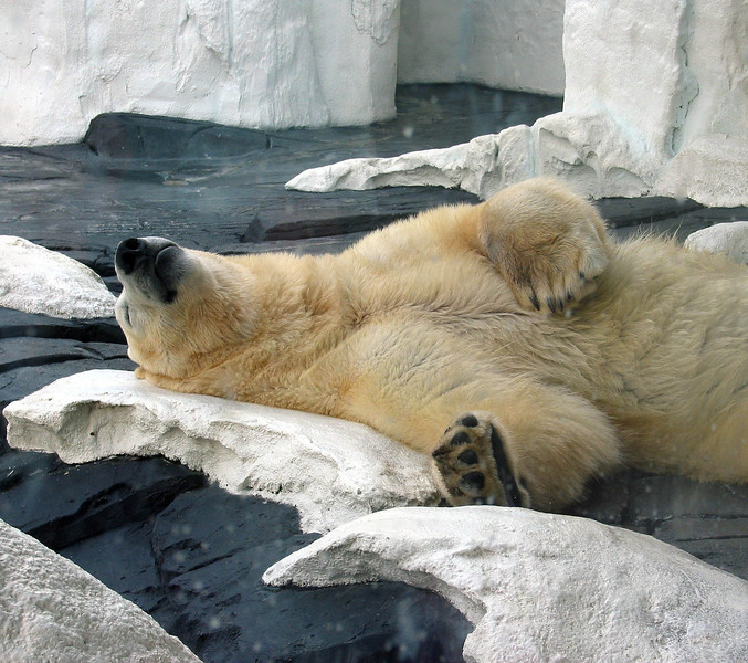A Polar bear resting at Sea World in San Diego.