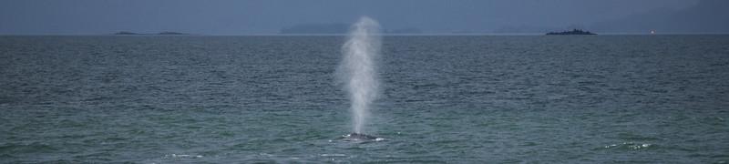Humpback Whale Blowing - Near Juneau, AK July 2013