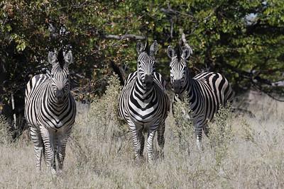 Zebras Linyanti Swamp, Botswana