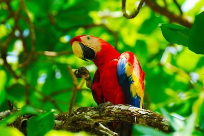 Scarlet Macaw, Corvacado National Park