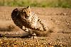 Cheetah Run 5370
