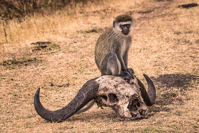 vervet monkey 7676