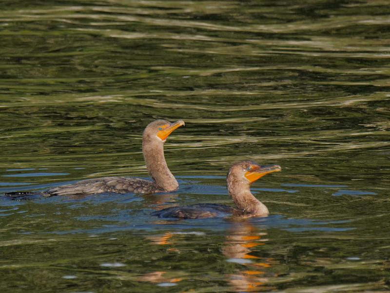 Cormorants at Rodman Dam
