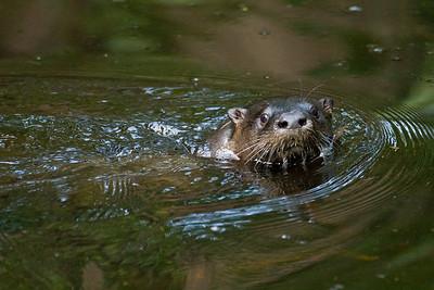 River Otter - St. Marks NWR, Florida