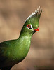 Guinea Turaco or, also called, Green Turaco