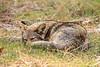 Coyote Nap