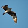 Osprey at Rodman Reservoir