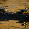 Turtles at Beacon Hill Park