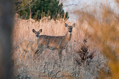 Whitetail Deer are Curious