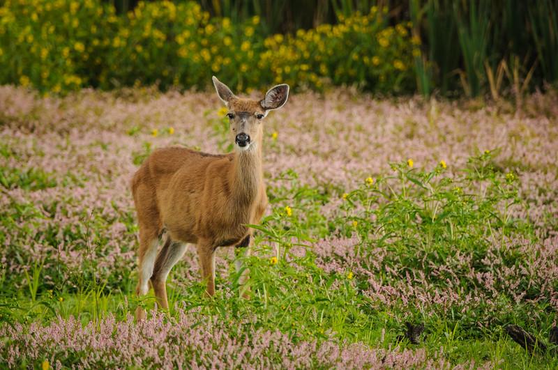 Black-tailed Deer at a dry Rithet's Bog