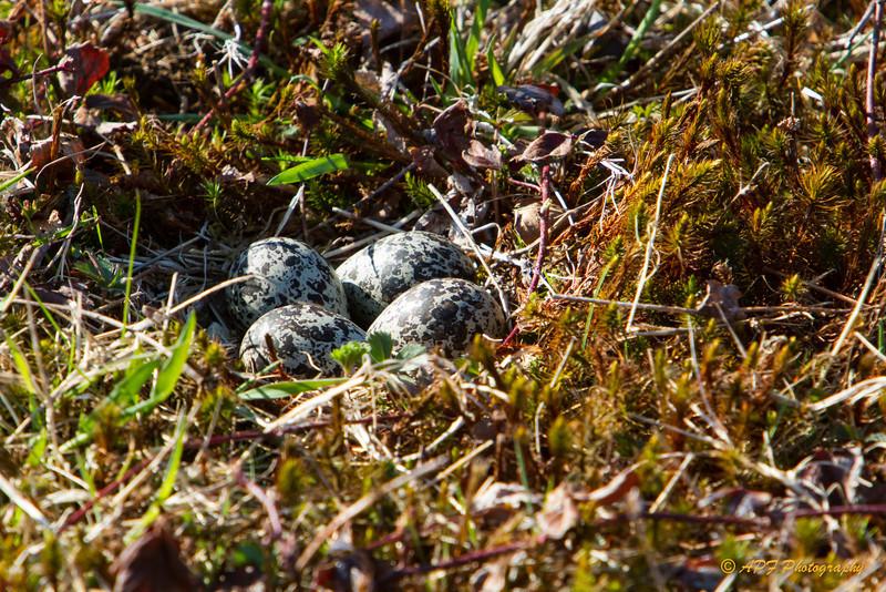 Killdeer eggs.