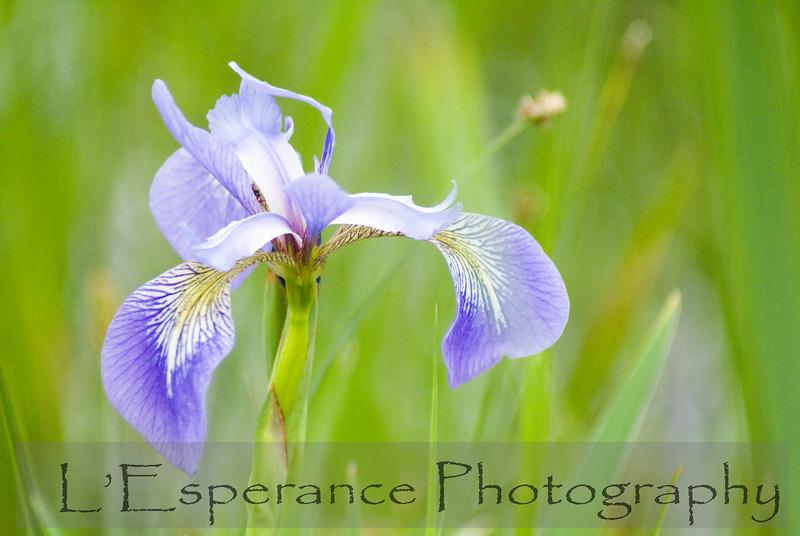 Wild Wisconsin Iris