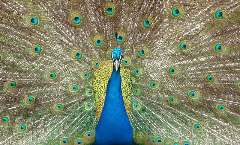 Peacock, Leenane, County Galway