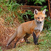 Red Fox kit near Brimley, Michigan