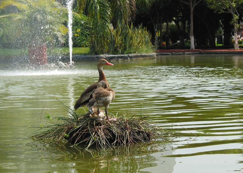 Water Fowl at a resort in Puerto Vallarta, Mexico.