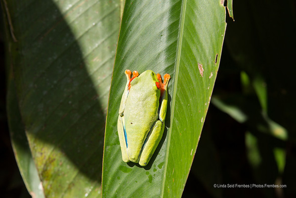 A red-eyed leaf frog at Arenal Natura Ecological Park.