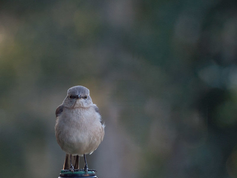 Flycatcher, Ravine Gardens