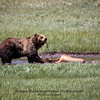 Grizzly at Elk kill