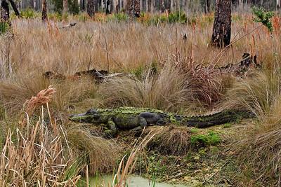 American Alligator - St. Marks NWR, Florida