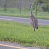 Sandhill Crane on the median