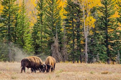 Buffalo Bulls, Grand Tetons