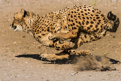 cheetah run 6737
