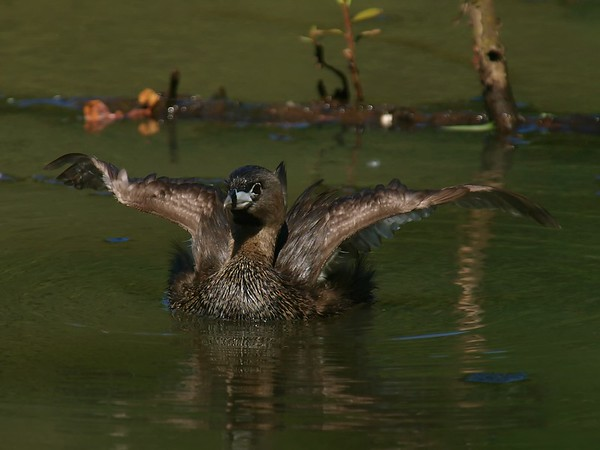 This is the first time I've been able to get a Grebe this close up.  I was really excited to get these pictures.