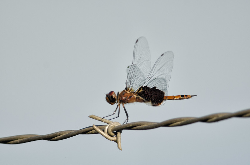 Dragonfly at Chapman's Pond