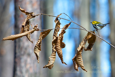Black-throated Green Warbler, Dendroica virens