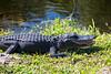 Alligator17