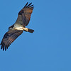 Osprey Flies over Rodman Dam