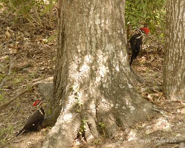 KJT_2006-05-13_0010 Pileated Woodpeckers