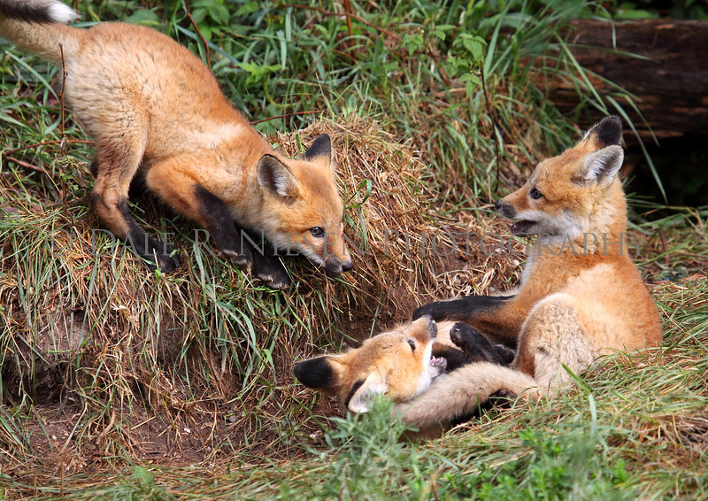 Red Fox kits playing near Brimley, Michigan