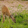 Black-tailed Deer at a dry Rithet's Bog