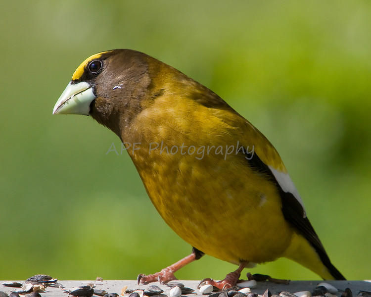 Male Evening Grosbeak (breeding season)